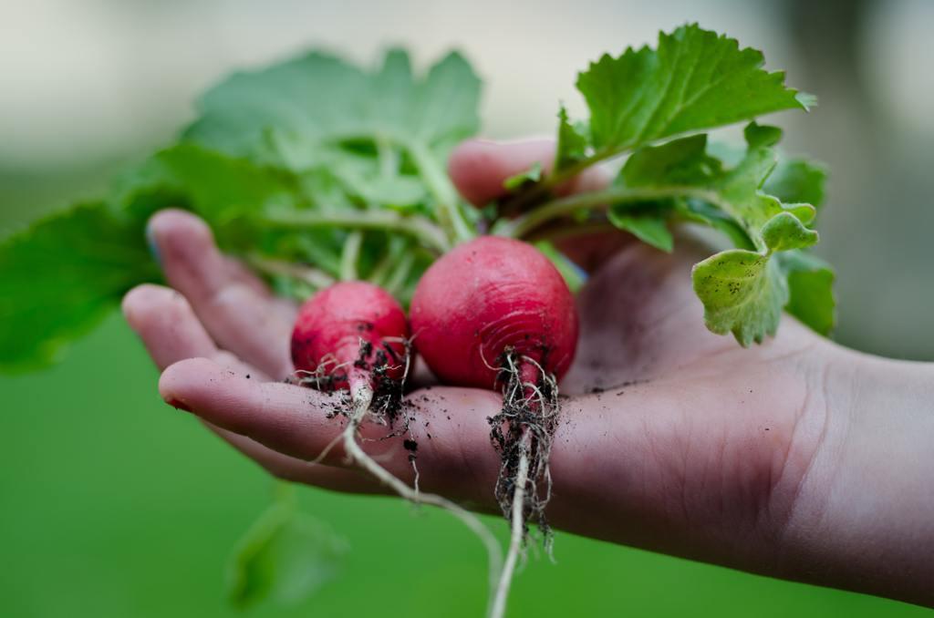 radish and nitrate